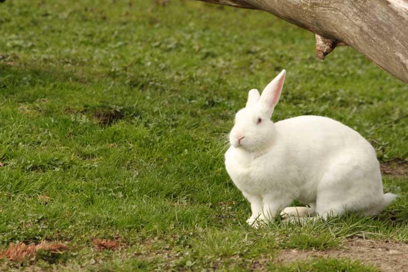 Le lapin blanc de Pâques