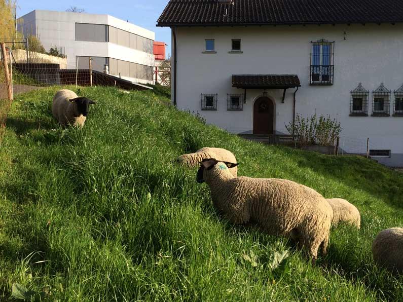 365 x Sempach Moutons dans un pré devant l'école de Sempach