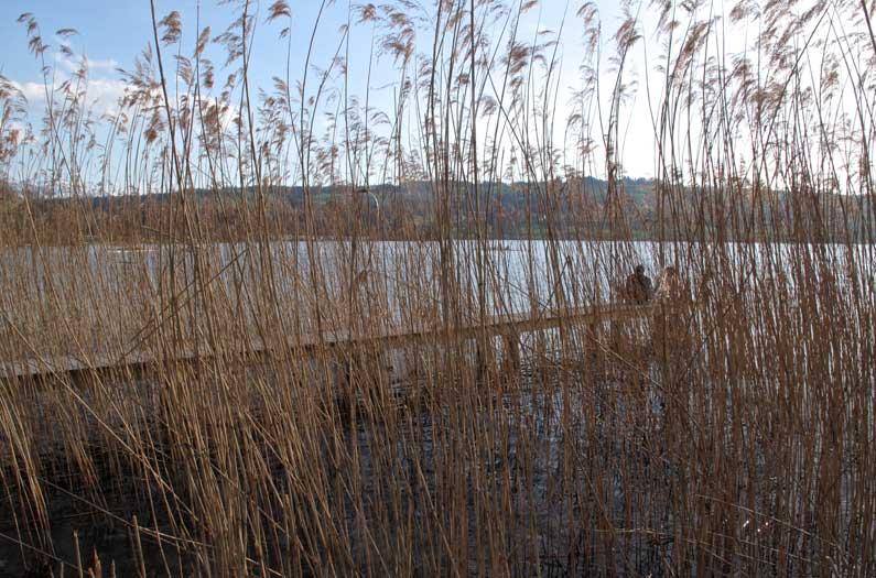 365 x Sempach Ponton au bord du lac de Sempach, entre la Seeallee et la Station ornithologique Suisse
