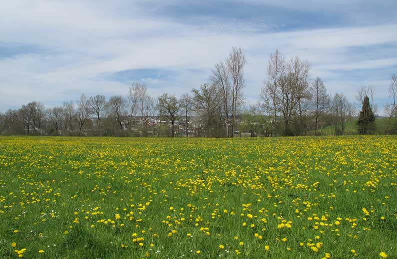 Du jaune dans les champs
