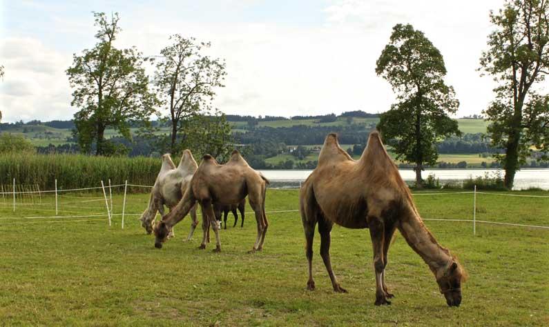 Sempach à dos de chameau